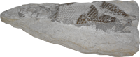 Fossil Fishy